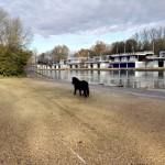 An escaped pony wanders outside Univ boathouse.